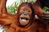 Semeru the orangutan