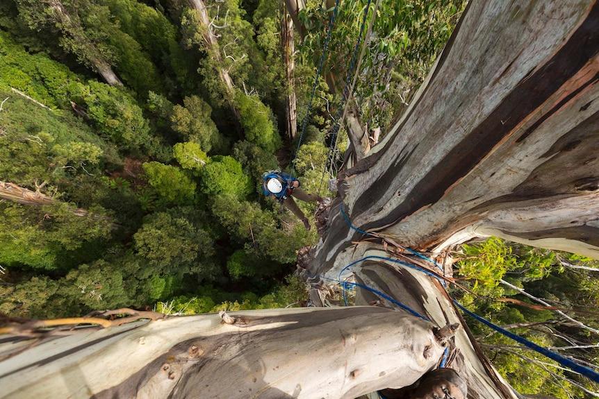 Man climbing a eucalyptus regnans