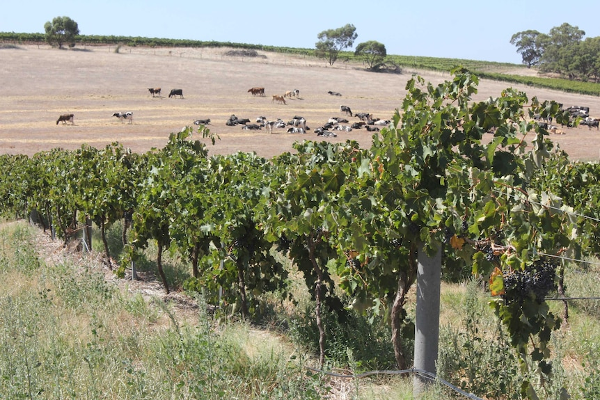 Dairy and vineyard mixed farming system
