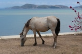 A horse eats grass in front of a beach.
