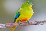 Orange-bellied parrot, male