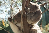 A mother and daughter koala at Canberra's Tidbinbilla Nature Reserve.