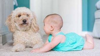 A baby lies next to a fluffy dog.