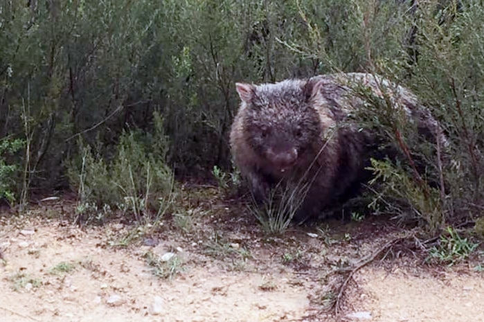 A wombat affected by flooding.