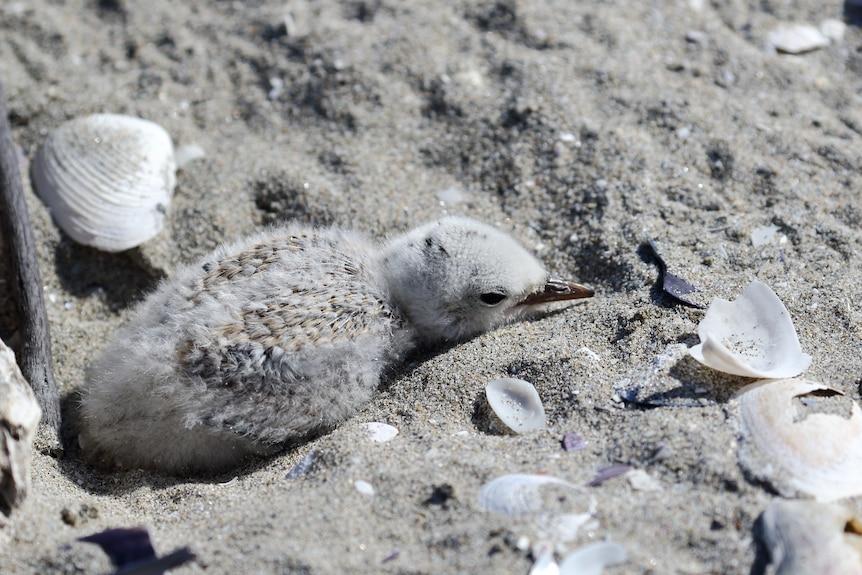 A young fairy tern on a beach.