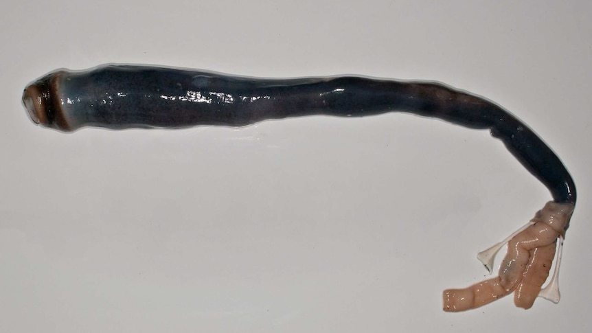 Rare shipworm dissected by researchers