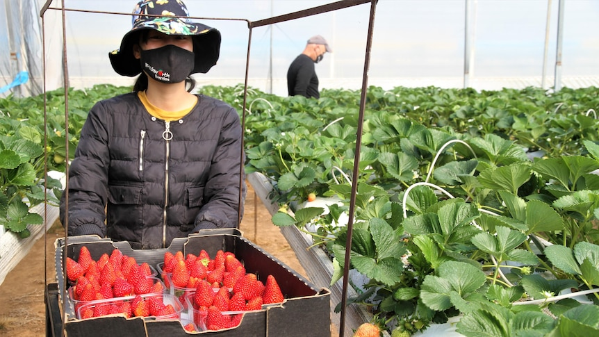 A woman wearing a mask is picking strawberries