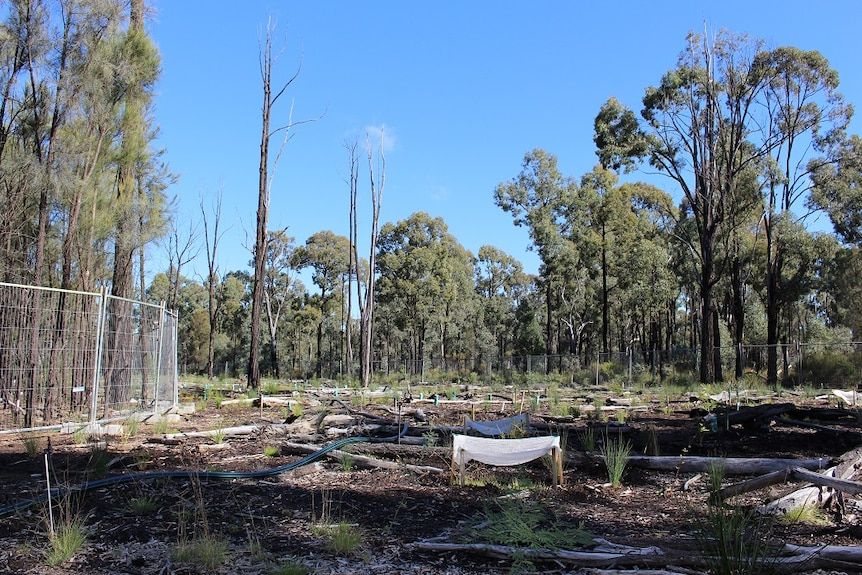 The site of an old spill in the Pilliga Forest has been fenced off and replanted with native vegetation by Santos.