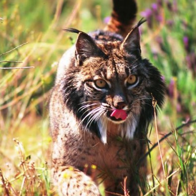 An Iberian lynx with raised pointed ears and its tongue sticking out walks through grass. It has spotted fur and orange eyes.