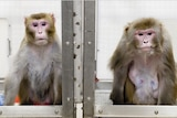 Rhesus monkey in lab