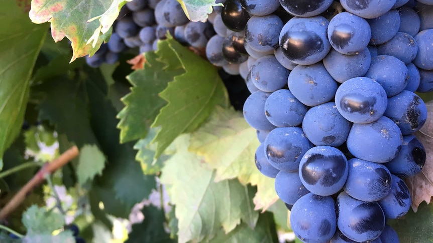 Shiraz grapes on the vine at the Kalleske winery in South Australia.