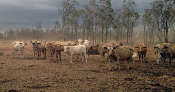 Cattle during drought at Talwood
