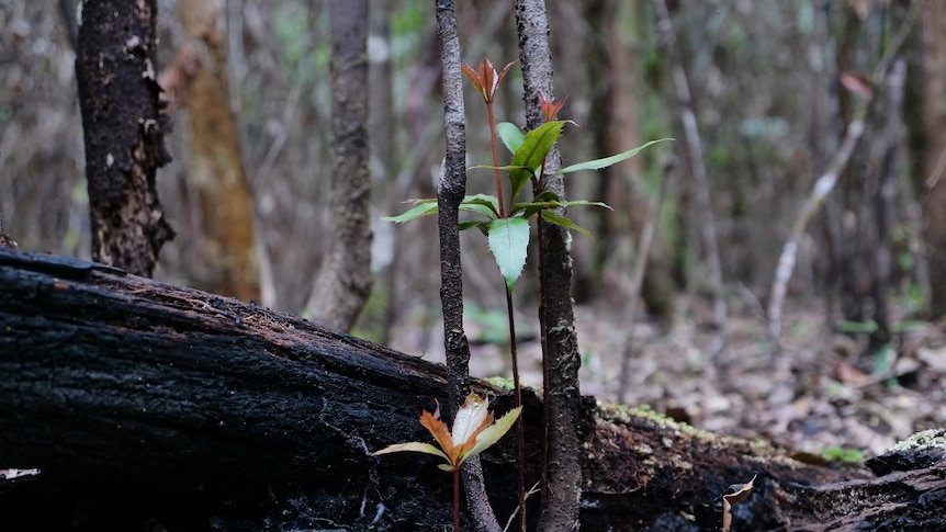 A new shoot rising from the blacked remains of a nightcap oak.