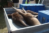 Three kangaroo carcasses lie in the back of a ute.