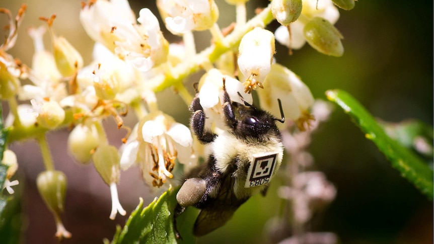 A bee on a flower with a tag on its back