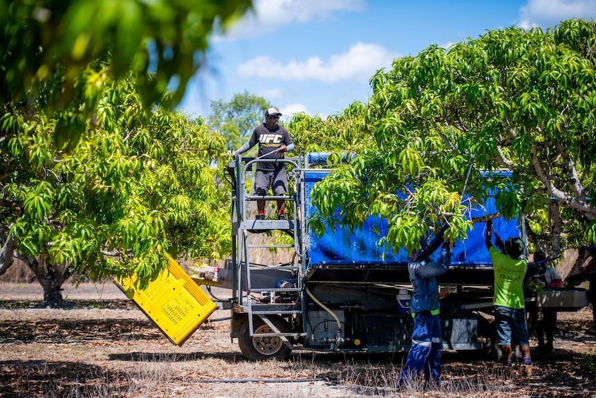 A man standing on a fruit-picker at a mango farm