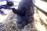 Oprah, a pet pig, is housed at the Hawkesbury Showgrounds.