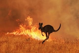 A kangaroo jumping away from bushfire.