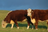 King Island's quality grass-fed beef