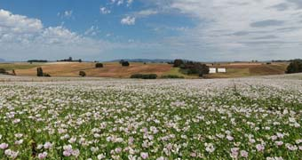 Tasmanian poppy field.