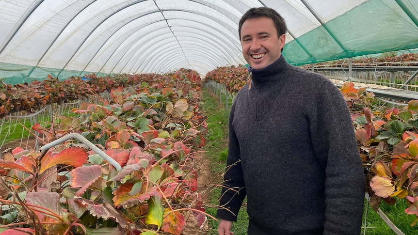 Man in grey jumper stands next to row of strawberry plants, inside a plastic tunnel.