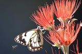 A black and white butterfly sits drinks nectar from a native flower.