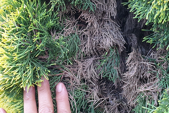 HA hand pulling apart the needles of a Cypress pine showing dead material underneath