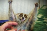 A slow loris is tickled under the arms which he has raised above his head.