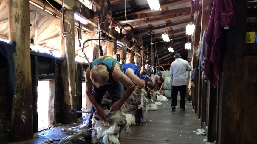 Shearers at work in a NSW shed.
