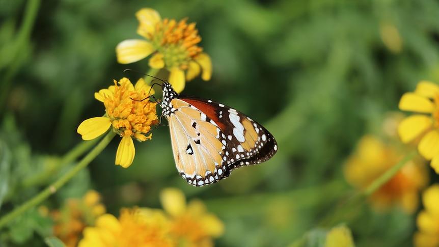 Lesser wanderer butterfly feeding on the nectar from the Sunflower Daisy, Apowollastonia stirlingii.