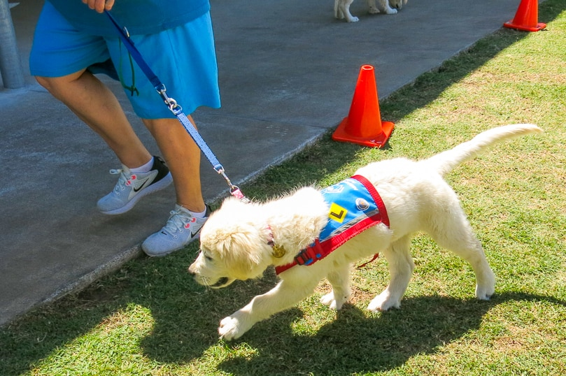One of the younger pups in training as assistance dogs at the Southern Queensland Correctional Centre.