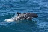A False Killer Whales off off North East Island.