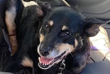 a black and golden kelpie sits on the back seat of car with visible injuries