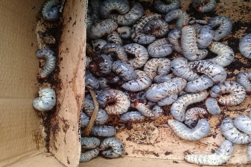 A cardboard box full of beetle grubs covered in soil.