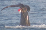 Photo of southern right whale tail entangled in rope, seen off Victorian coast, September 2018.