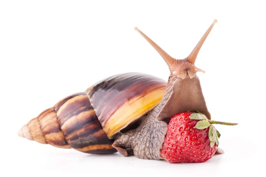 Giant African snail on a strawberry