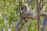 Koala in a tree at land at Cowley Street at Ormiston, east of Brisbane, while tree clearing being done on January 27, 2021.