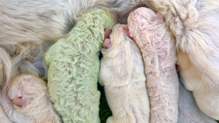 Several white furred puppies and a puppy with green fur suckle from their mother.