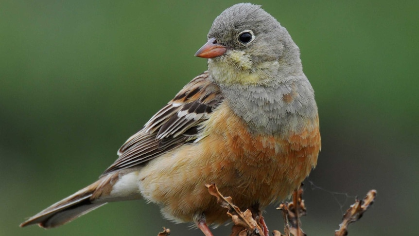 The ortolan has been banned from restaurant menus in much of Europe since 1999.