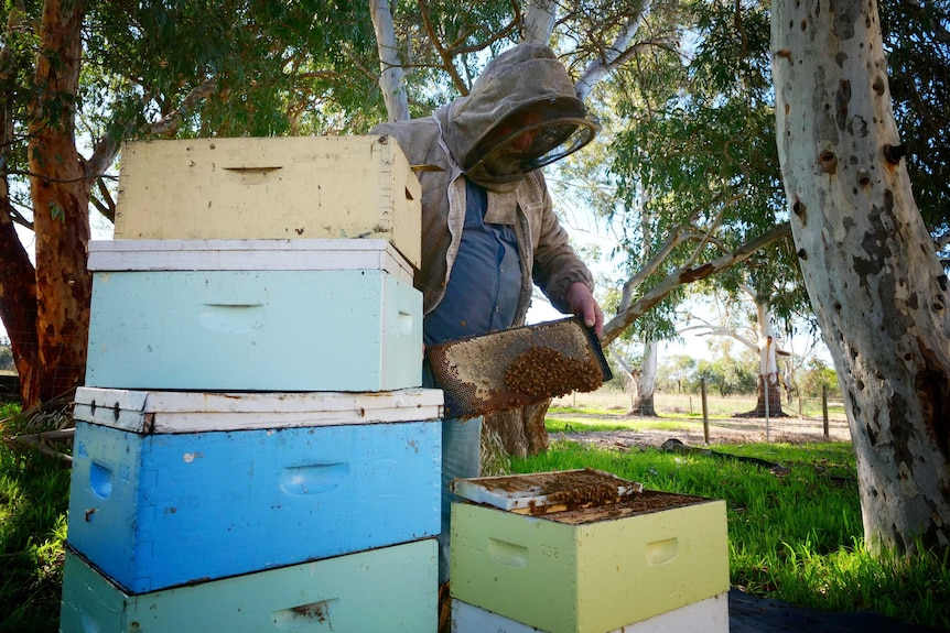 Beekeeper Kim Fewster inspecting hives at his Muchea property, July 2020.