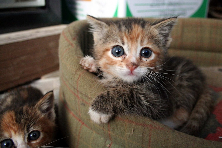 Two extremely cute kittens with dark blue-grey eyes.