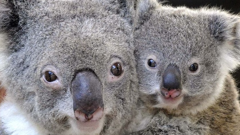 A report released at the UN climate summit says koalas face extinction due to climate change.