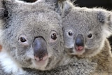A close-up of a the faces of a mother and baby koala.