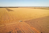 A white car sits in the middle of an aerial photograph of a yellow barley crop during the drought.