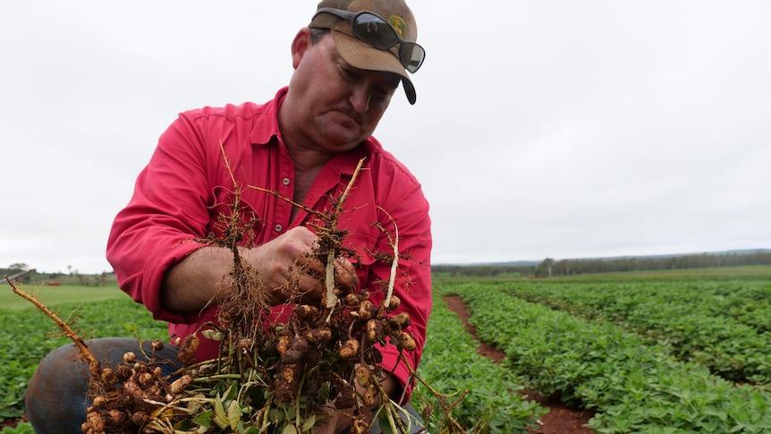 Peanut farmer Peter Howlett is kneeling in a paddock with a peanut bush in his hands.