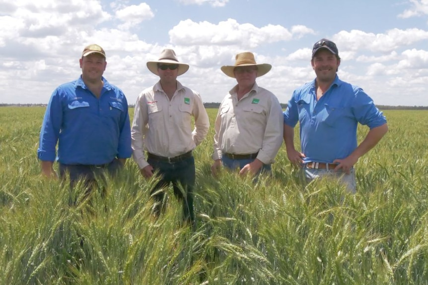 Four men stand in a field of wheat ready to be harvested.