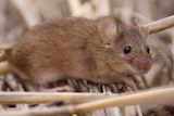 a mouse with head slightly tilted to camera on bed of straw.