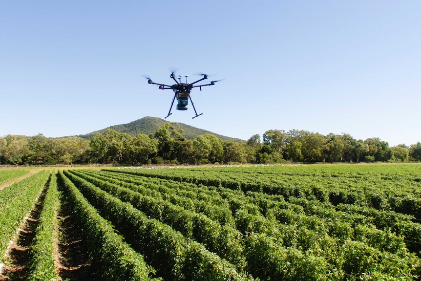A large drone hovers over rows of green tomato plants.
