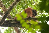 A male orangutan in Borneo
