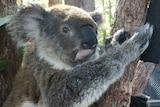 A koala looks at the camera.